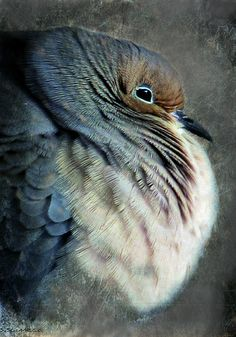 """Feather bed"" a morning dove on a very cold day 