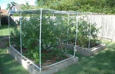 Raised bed for blueberries with bird netting