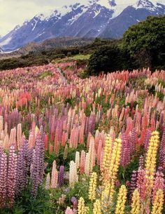 Wild lupines in Mount Cook National Park, New Zealand    www.facebook.com/loveswish