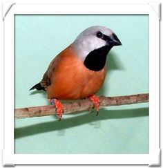 The Black-throated Finch (Poephila cincta), or Parson Finch, is a species of estrildid finch found in grassy woodlands throughout north-east Australia from Cape York Peninsula to north-east New South Wales. It is declining and its habitat is threatened by development.