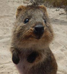 Quokka on Rottnest Island, Western Australia.