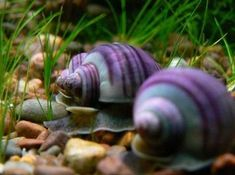 Appelslakken in je aquarium Beautiful Bugs, Amazing Nature, Animals Beautiful, Aquarium Snails, Aquarium Fish, Apple Snail, Pet Snails, Life Aquatic, Aquatic Plants