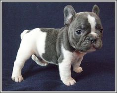 Blue & White Pied French Bulldog Puppy.
