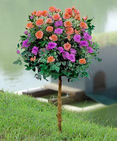 Another great find on #zulily! Melon & Purple Sunblaze Patio Rose Tree #zulilyfinds