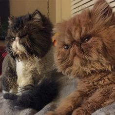 Persian Cat Shorthaired Persian Cats - some of the best long haired cat breeds out there that will give you a look into the idea that you are going to be able to get the inspiration. I Love Cats, Crazy Cats, Cool Cats, Pretty Cats, Beautiful Cats, Teacup Persian Cats, Animal Memes Clean, Cute Little Kittens, Himalayan Cat