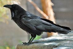 Raven | Flickr - Photo Sharing!