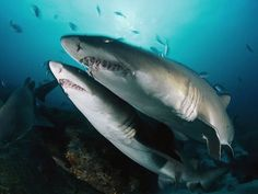 Sand Tiger Sharks Photograph by David Doubilet
