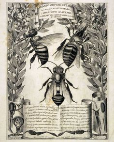 Francesco Stelluti (1625). An engraving from Melissographia, which was presented to Pope Urban VII. Bees were the heraldic emblem of the Bar...