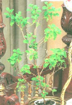 "Tulasi-Devi: The Sacred Tree... ""Holy Basil"" (Ocimum tenuiflorum)  as incarnation of Goddess Laksmi.  She is physically present in or in front of most temples of Vishnu.  While providing offerings of fragrant leaves, She is also actively worshipped as an immanent divinity.  (Also spelled Tulsi)"