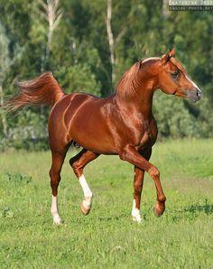 Chestnut horse - Arabian stallion - Equine Photography by Ekaterina Druz