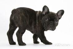 Dark Brindle French Bulldog Pup, Bacchus, 9 Weeks Old Photographic Print
