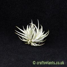 Tillandsia Loliacea is an interesting miniature airplant that rarely grows larger than tall. Air Plants, Colorful Flowers, Miniatures, Brooch, Brooches, Minis