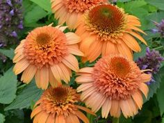 Echinacea Supreme Cantaloupe is a melon-cantaloupe double Coneflower - a real breakthrough in color!