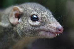 Tupaia - Tree Shrew - the buckteeth are simply adorable.