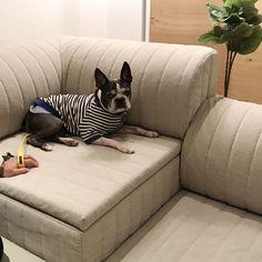 ローソファ専門店HAREM  2018年2月3日(土) & 4日(日)、東京&大阪ショールームにてペットイベント「愛犬とローソファを試してみよう」を開催します!  こちらは前回お越しいただいたワンちゃん。ボストンテリアは初めてのお客様だったのでは!スキップ1ミニソファでまったりくつろいでくれています。