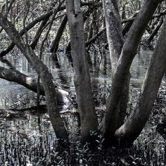 Was experimenting with the zoom instead of the macro yesterday.. kinda like the messiness of this almost like charcoal  #mangroves #landscape #landscapephotography #landscape_captures #swamp