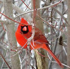 Cardinal Red ~ Print By Stephanie Forrer-Harbridge