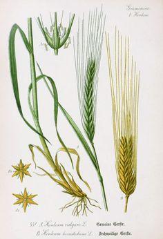 Barley Botanical Illustration from Flora of Germany circa 1903