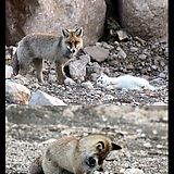 Yo Dawg, I hear you like cats and foxes