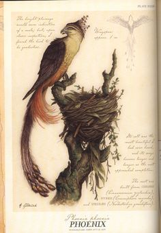 In Greek mythology, a phoenix is a long-lived bird that is cyclically regenerated or reborn. Associated with the sun, a phoenix obtains new life by arising from the ashes of its predecessor. .
