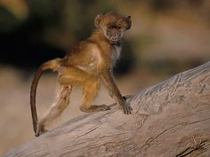 A young chacma baboon