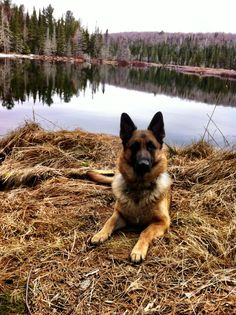 Wicked Training Your German Shepherd Dog Ideas. Mind Blowing Training Your German Shepherd Dog Ideas. German Shepherd Facts, German Shepherd Training, German Shepherd Puppies, German Shepherds, Photos Black And White, Schaefer, Working Dogs, Dog Pictures, Dog Photos