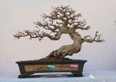Bonsai Pruning, Bonsai Garden, Bonsai Trees, Bonsai Wire, Great Hobbies, Ficus, Flowering Trees, Art Of Living, Wabi Sabi