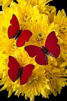 Three Red Butterfly Poms Photograph - Three Red Butterflys by Garry Gay Butterfly Kisses, Butterfly Flowers, Beautiful Butterflies, Beautiful Flowers, Yellow Flowers, Butterfly Wings, Beautiful Places, Beautiful Creatures, Animals Beautiful