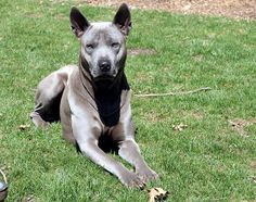 Thai ridgeback photo | Recent Photos The Commons Getty Collection Galleries World Map App ...