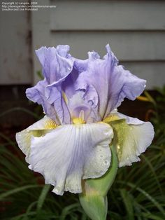 Full size picture of Tall Bearded Iris 'Dawn of Change' (Iris)