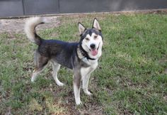Our Florida Siberian Husky Rescue has had another adoption: https://www.facebook.com/HuskyMomAtSiberianHuskyRescueOfFlorida