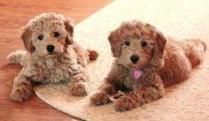 puppies goldendoodles by bamkapowxo - Pixdaus