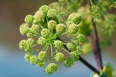 Angelica is truly a useful herb, but accurate identification is crucial since it resembles water hemlock, a highly poisonous plant found in the same habitat. Angelica Herb, Angelica Flower, Flowers Name List, Flower Names, Water Hemlock, Different Types Of Flowers, Poisonous Plants, Language Of Flowers, Plantation