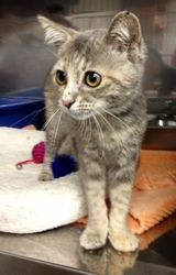 Sally - 437 is an adoptable Domestic Short Hair Cat in Maumelle, AR. Please contact Maumelle Animal Services for more information about this pet. MFOA striving to decrease the number of homeless anima...