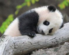 Images of amazingly small baby pandas in their everyday life. Mothers of those little bears are known for their protectiveness and carefulness with baby pandas. Panda Kawaii, Niedlicher Panda, Cute Panda, Baby Wild Animals, Cute Baby Animals, Funny Animals, Animals Images, Funny Animal Pictures, Cute Pictures