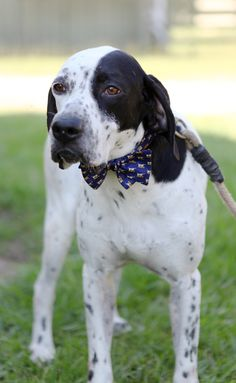 Adorable pointer wearing the Pointer bow tie in cobalt. Perfection? I think so.