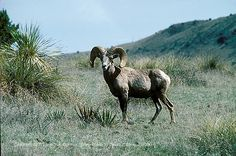 Google Image Result for http://www.nofencesland.com/blog/wp-content/uploads/2011/07/bighorn11.jpg