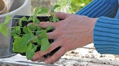 Gøremål i haven i april - prikling, stauder og rodukrudt