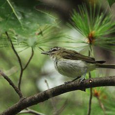 In The Treetops - Mcgregor Bay Georgian Bay Ontario Canada #art #photography #birds #songbird #vireo