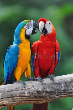 Colorful Parrot Love Bird Macaw Stock Image - Image of mccaw, maccaw: 23698691 Funny Birds, Cute Birds, Pretty Birds, Beautiful Birds, Colorful Parrots, Colorful Birds, Parrot Image, Blue Gold Macaw, Toucan