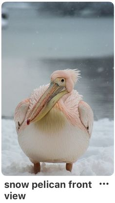 Pink Pelican looking bemused deep in the february snow . St james park, nearest tube is st james park - Jonathan Griffiths Pretty Birds, Beautiful Birds, Animals Beautiful, Nature Animals, Animals And Pets, Cute Animals, Exotic Birds, Colorful Birds, Funny Birds