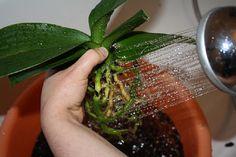 Ez a szer igazi kincs minden orchideát szeretőnek! Rendkívül pompázatos virágzat… - Bidista.com - A TippLista! Growing Orchids, Growing Plants, Wonderful Flowers, Orchid Care, Small Farm, Seaweed Salad, Indoor Plants, Bonsai, House Plants
