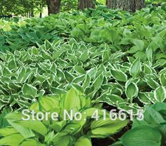 Hosta Seeds Emerald Isle Hosta Collection Seeds Shade Perennials Plantain Lily Flower White Lace Home Garden Ground Cover Plant