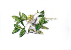 Peppermint/Spearmint leaves and flowers and citrus flower in graphite and colored pencil by Robert Ciampa Illustration www.ciampa-illustration.com