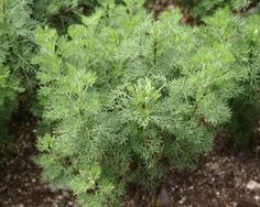 CITROENKRUID (Artemisia abrotanum L.) Averoon, Limoenkruid, Krampkruid...
