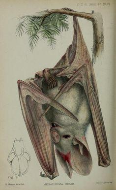 Antique bat illustration
