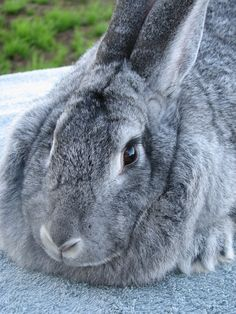 ~ American Chinchilla Rabbit ~  I've found an American Chinchilla breeder near Burlington so we're planning to get a breeding pair or trio this summer:  they are listed as critical on the American Livestock Conservancy website.