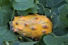 Kiwano Horned Fruit: Growing Tips And Info On Caring For Jelly Melons