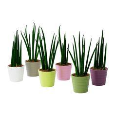 IKEA - SANSEVIERIA, Plant met sierpot 3 p stuk