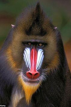 Safarious - A Mad Mammal Monkey for Mad Mammal Monday! / MammalMAP / Journal